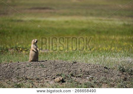 Black-tailed Prairie Dog Squealing From Grasslands National Park In Saskatchewan, Canada