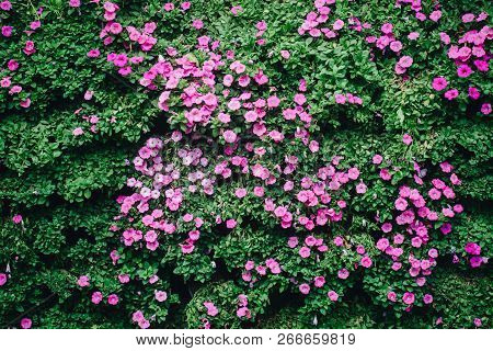 Beautiful Petunia Flowers In The Garden In Spring Time