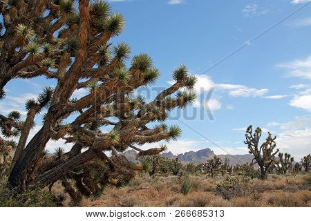 Joshua Trees In Dolan Springs, Arizona, Usa
