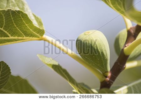 Figs Plant Full Of Fruits And Green Leaves