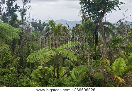 Trees Ferns And Vegetation Of Temperate Cloud Forest In Jayuya Puerto Rico