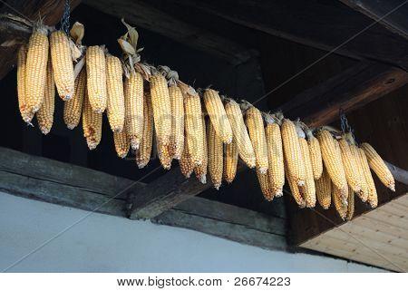 Drying ears of corn