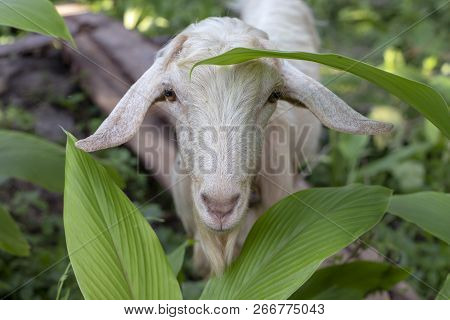 White Goat In Summer Garden. Cute Fluffy Animal Photo. Farm Animal Portrait. Curious Goat Looking In