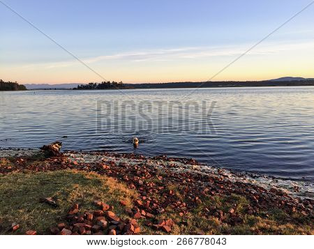 A Young Yellow Lab Going For A Swim Along The Peaceful Shores Of The Gulf Islands, In British Columb