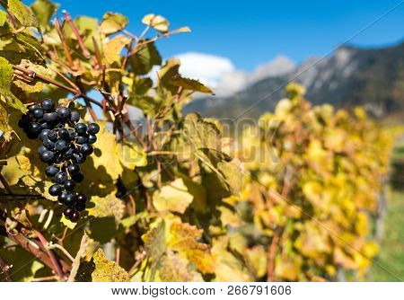 Golden Grapevines With Ripe Blue Pinot Noir Grapes