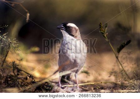 Whitebrowed Sparrow-weaver, Plocepasser Mahali, Central Kalahari Game Reserve, Ghanzi, Botswana, Afr