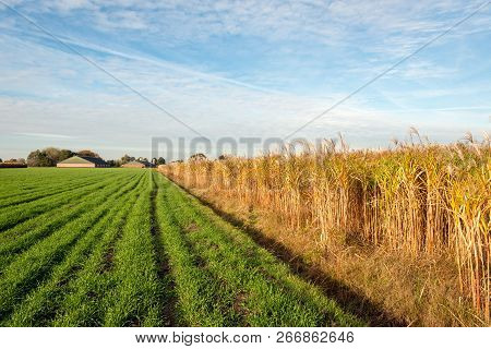 Young Green Plants And Mature Yellow Elephant Grass Or Miscanthus Giganteus Plants In Long Rows In A