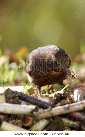 blackbird  looking for nesting materials in spring poster