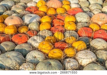 Field Of Red, Yellow, Orange, Gray Pumpkins On Hay On Farmer Market After Autumn Harvest.
