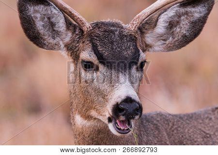 Young Mule Deer Buck - Wild Deer In The Colorado Great Outdoors