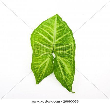 syngonium leaf isolated on white