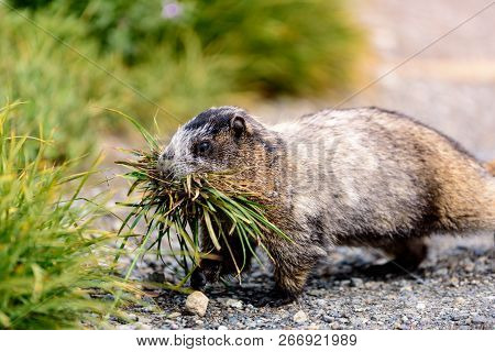 A Hungry Marmot In The Pacific Northwest Gathers Food As Quickly As Possible Before Hibernation