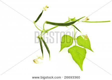 Young bean pods with leaf isolated on white background