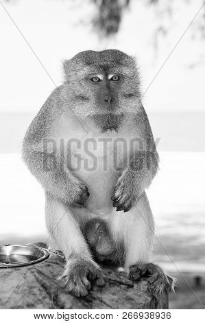 Monkey in Kuantan sand beach background. Monkey cute and fluffy sit in shadow. Monkeys harass residents in Kuantan. Primates attracted by food could try steal treats. Tips how keep primates at bay. poster