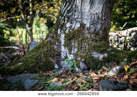 Cracked Bark Of The Old Tree Overgrown With Green Moss In Autumn Forest. Selective Focus. Azerbaijan