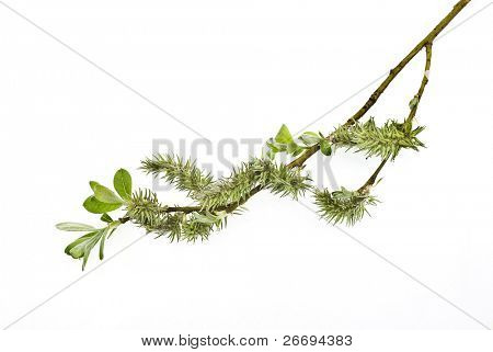 Branch of willow on white background