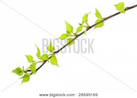 Birch branch isolated on white background