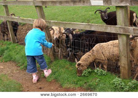 Young Girl Feeding Sheep Through A Wooden Fence.
