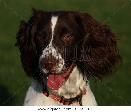 Working English Springer Spaniel standing in a field