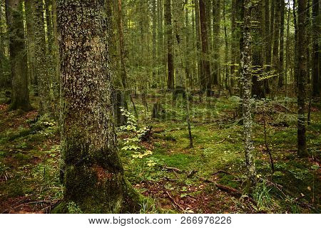 Green Forest Nature.green Forest Trees. Nature. Pine Forest. Natural Environment. Forest Nature. Red