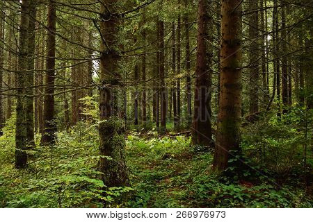 Green Forest Nature. Green Pine Forest. Nature. Pine Forest. Natural Environment. Forest Nature. Red