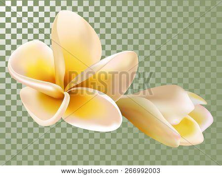 Plumeria Or Frangipani Flower And Bud Vector Illustration. Transparency Grid Background. Flowering,