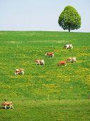 Herd of cattle on a scenic Alpine meadow. Emmental, Switzerland poster