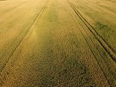 Ripening wheat. Green unripe wheat is a top view. Wheat field. poster