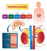 Adrenal glands vector illustration. Labeled scheme with all hormones types. Division in medulla, zona glomerulosa, fasciculata and reticulatis. Medical diagram with closeup right gland cross section. poster