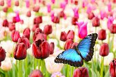 Tulips field with butterfly, low depth of focus poster