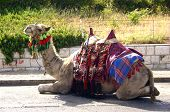lounging camel poster
