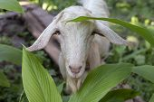 White goat in summer garden. Cute fluffy animal photo. Farm animal portrait. Curious goat looking into camera. Tamed animal friendly to people. White goat head and face closeup. Goat on pasture poster