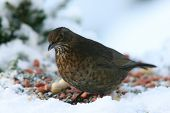 bird eating seeds of a table in winter poster