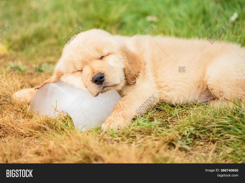 Cute Puppy Golden Image Photo Free Trial Bigstock