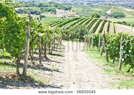 Italy - Piedmont Region. Barbera Vineyard
