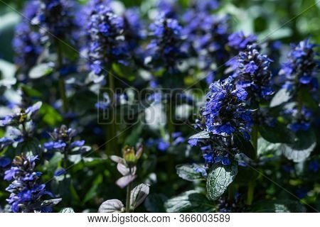Beautiful Small Blue Flowers Ajuga In The Grass. Bright Flowering Postcard Or Background Texture Wit