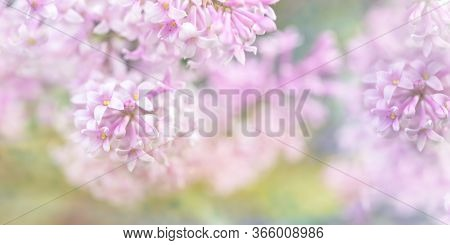 Beautiful Blurred Lilac Flowers Background. Blurred Lilac Branches Close-up. Floral Abstract Pastel
