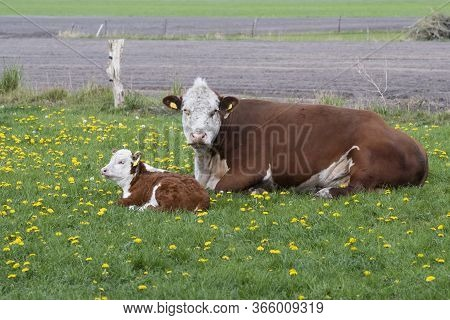 Brown And White Cattle Hereford Mother With Calf On Pastureat, They Are Looking At The Camera