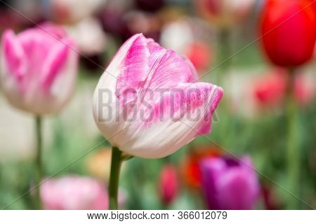 Outstanding Colorful Tulip Flower Bloom In The Spring  Garden