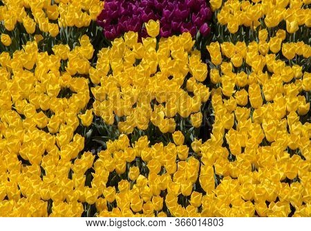 Colorful Tulip Flowers As A Background In View