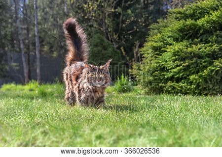 Portrait Optimistic Maine Coon Cat On Green Grass With Copy Space And Sunny Summer Day. Walk With Pe
