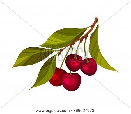 Cherry Branch With Mature Berries Hanging Vector Illustration