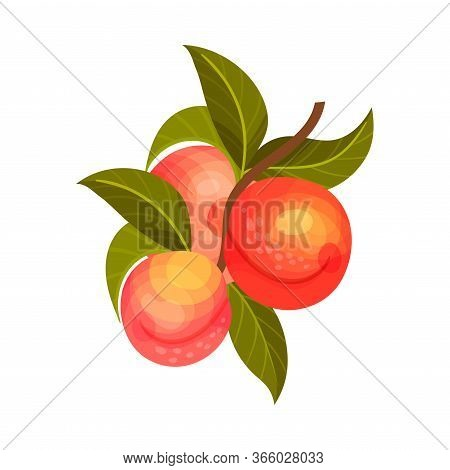 Apricot Branch With Mature Fruits Hanging Vector Illustration