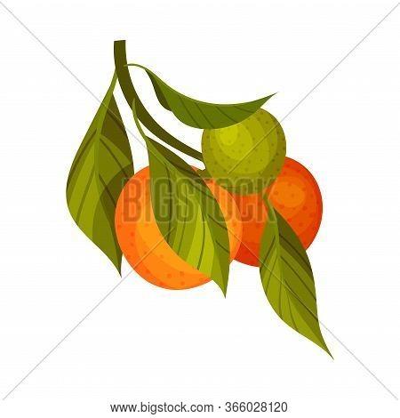 Orange Branch With Mature Fruits Hanging Vector Illustration