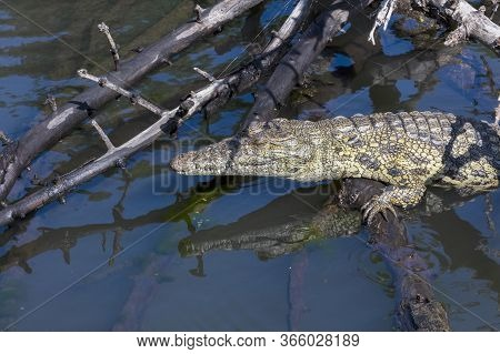 A Nile Crocodile Enjoys The Sun While Resting On A Fallen Branch Next To The Chobe River, Botswana.