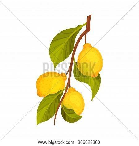 Lemon Branch With Mature Fruits Hanging Vector Illustration