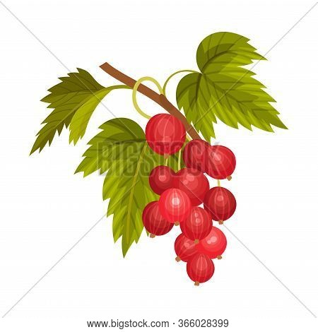Gooseberry Branch With Mature Berries Hanging Vector Illustration