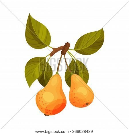 Pear Branch With Mature Fruits Hanging Vector Illustration