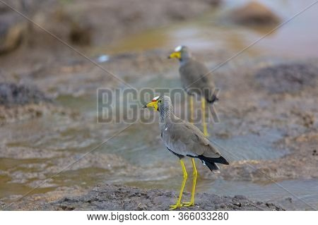 Two African Wattled Lapwings Stand By A River In Zimbabwe Looking For Food.