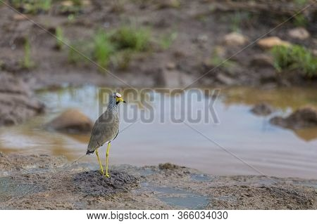 An African Wattled Lapwing Stands At The Edge Of A River In Zimbabwe, Southern Africa.